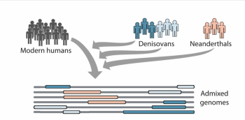 Figure 2: Admixture between Homo sapiens, Denisovans and Neanderthals (Browning et al. 2018, 52). To define the origin of Homo sapiens, one must also consider the origin of Denisovan and Neanderthals.